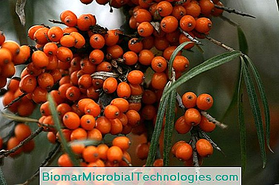 Buckthorn, Against Constipation
