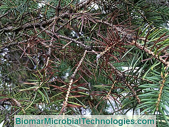 Spruce: It Relieves Many Diseases