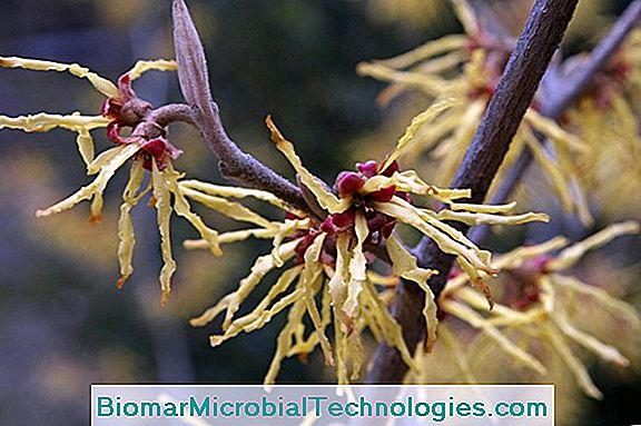 Hamamelis: It Improves Circulation