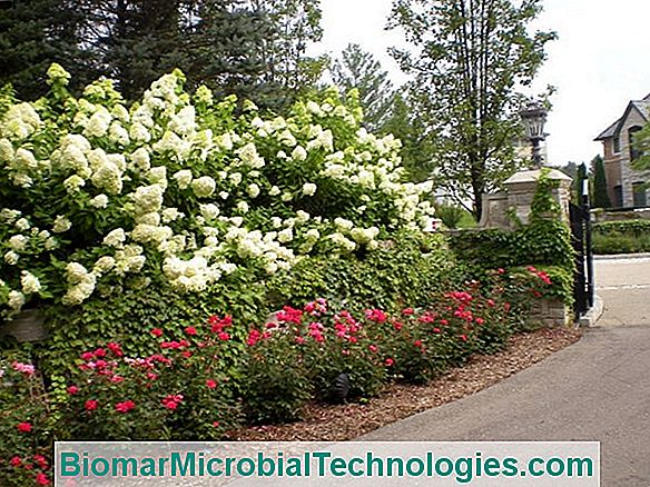 6 Hydrangeas Ultra Floriferous And Easy To Grow