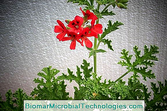 How To Have Beautiful Geraniums?