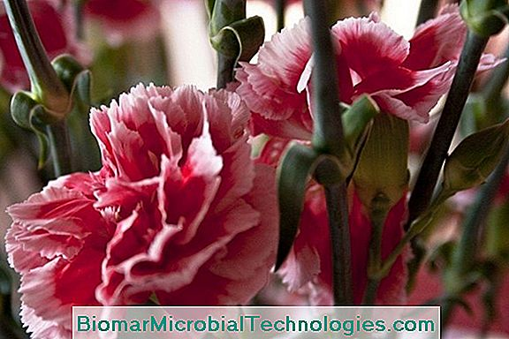Tips For Beautiful Carnations