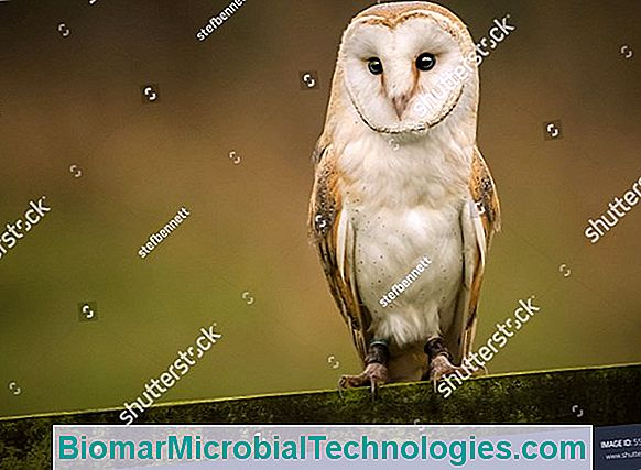 The Barn Owl (Tyto Alba), White Lady Or Barn Owl