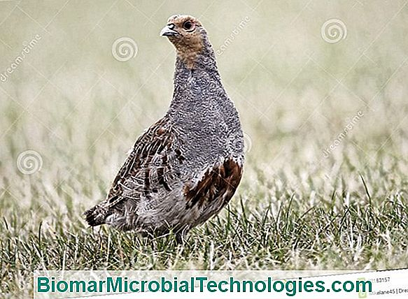 The Gray Partridge (Perdix Perdix) And The Red Partridge (Alectoris Rufa)