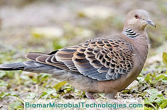The Turtledove, The Migratory Bird That Coos