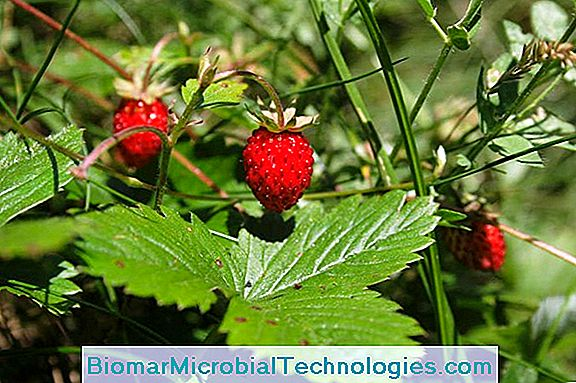 Fresa Salvaje (Fragaria Vesca), Un Aroma Incomparable.