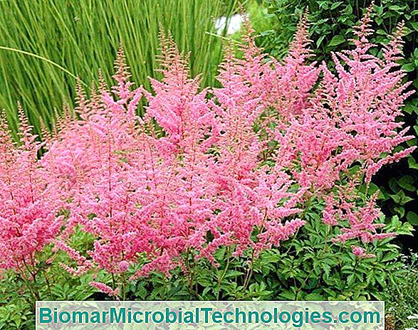 Astilbe: Follaje Notable