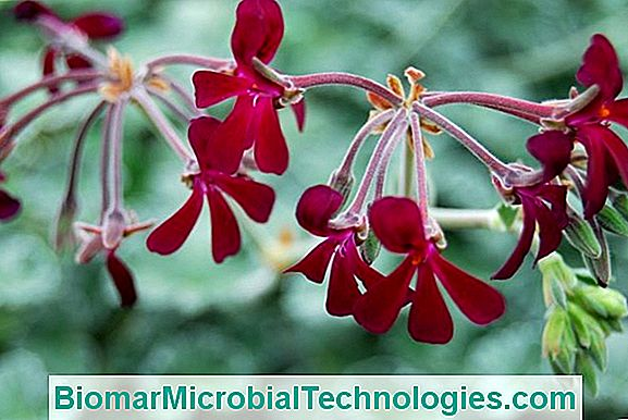 Pelargonium: Beneficios Y Virtudes.
