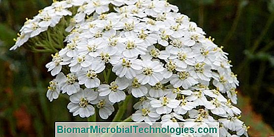 Yarrow: Beneficios Y Virtudes