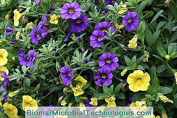 Million Bells®: Un Calibrachoa Ibrido