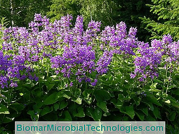 Betony Officinale (Stachys Officinalis) Sau Epicarp Comun