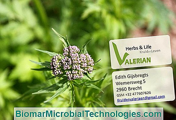 Valerian Officinale (Valeriana Officinalis), Antistress Tegen Slapeloosheid