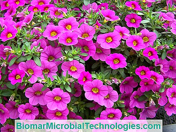 Million Bells®: Hybrydowe Calibrachoa