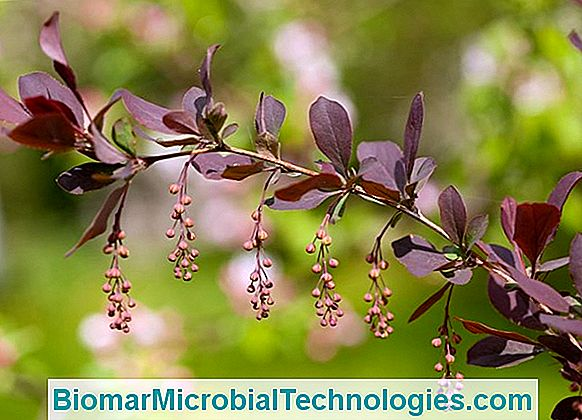 Berberis: Ideal Em Hedge Defensivo