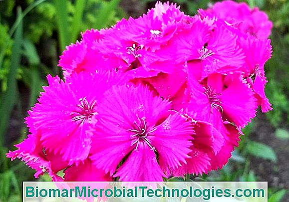 Dianthus Barbatus: O Cravo Do Poeta