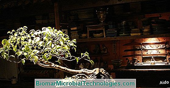 Ficus Retusa: Ideal Em Bonsai