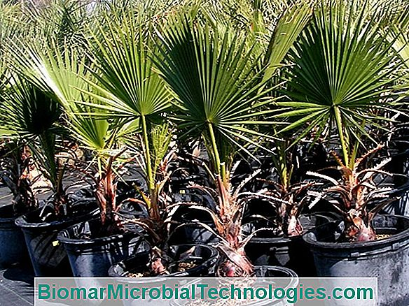 Washingtonia: Uma Palmeira Ornamental Real