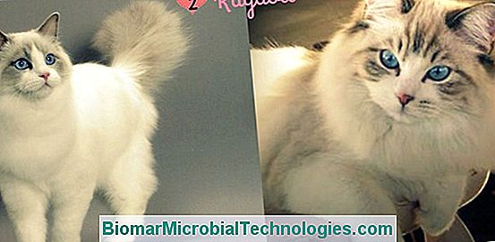 O Ragdoll: Um Gato Interior Ideal