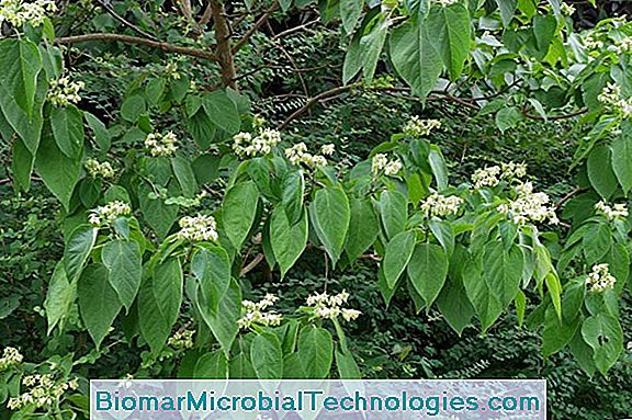 Clerodendron Da China (Clerodendrum Trichotomum), Árvore Clerical