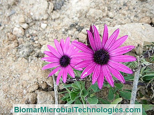 Osteospermum Ou Dimorphoteca - Margarida Do Cabo