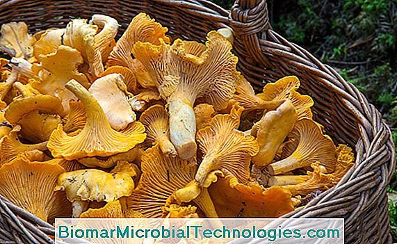 Picking chanterelles sau chanterelles comune