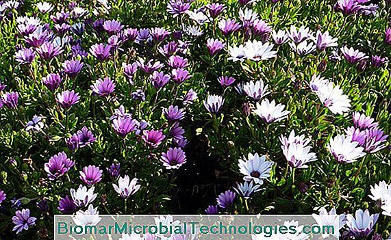 Margarida do cabo (osteospermum), flor do beira-mar