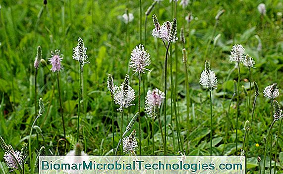 Tanchagem (Plantago major)