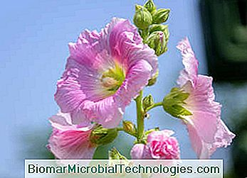 Marshmallow althaea officinalis