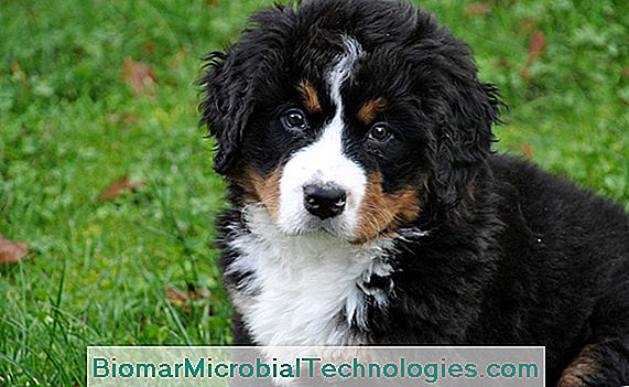 Cachorro Bernese Mountain Dog