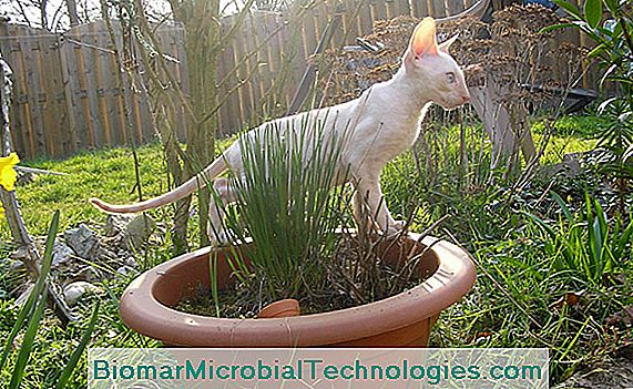 Cornish rex cica