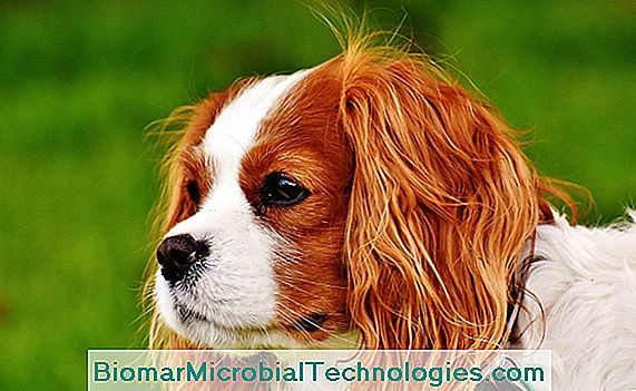 A Cavalier King Charles