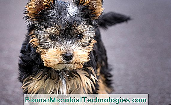 Cachorro de yorkshire terrier