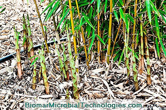 5 Sorten Nicht Markierender Bambus Zum Pflanzen Im Garten Der Ort