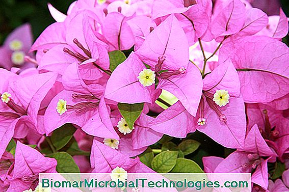 Bracts bougainvillea blomster i potten