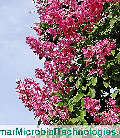 Lilac of India (Lagerstroemia)