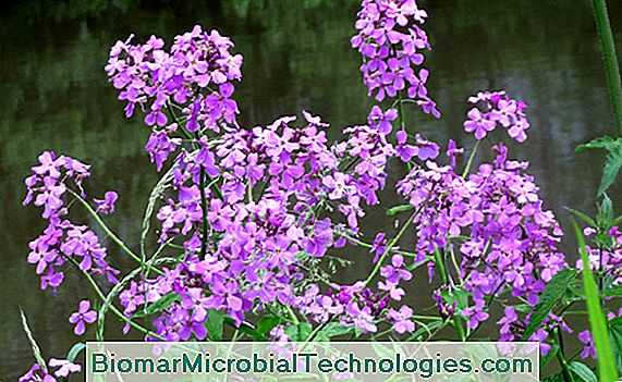 Juliana de las damas (Hesperis matronalis)