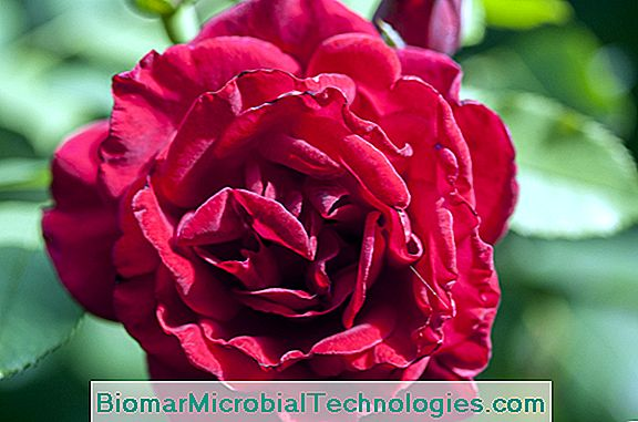 Rose 'Red Perfume'