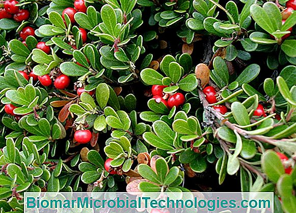 Bearberry (Arctostaphylos uva-ursi) ou Bearberry