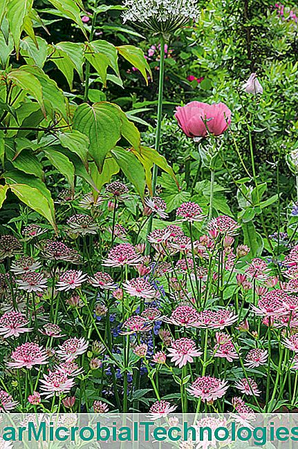 Allium nigrum e papoula 'Patty's Plum'