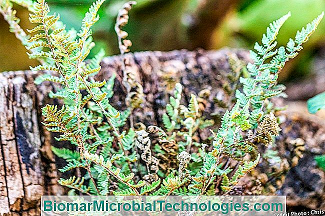 Fern Cheilanthes Microphylla