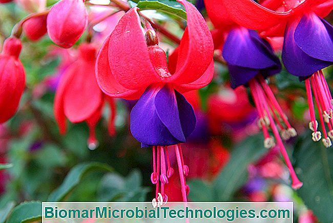 Fuchsia: How To Make Them Bloom Again
