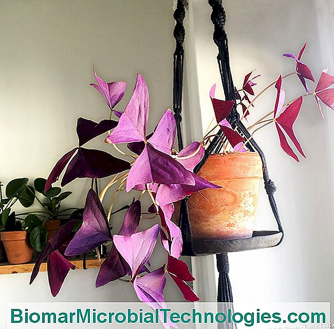 Oxalis triangularis púrpura en suspensión