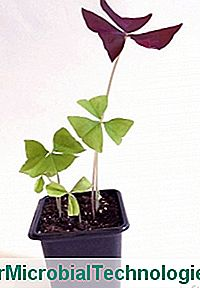 Un oxalis triangularis en maceta.