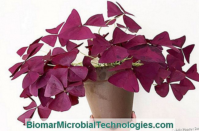 Oxalis triangularis morado en maceta