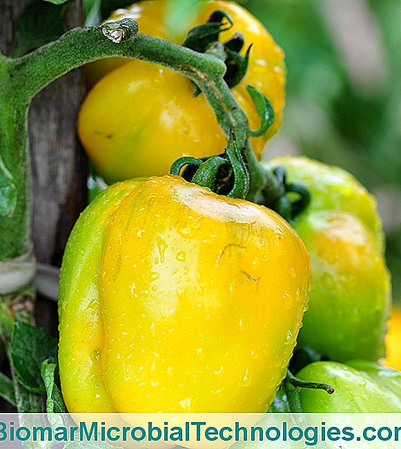 O Tomate 'Yellow Stuffer'