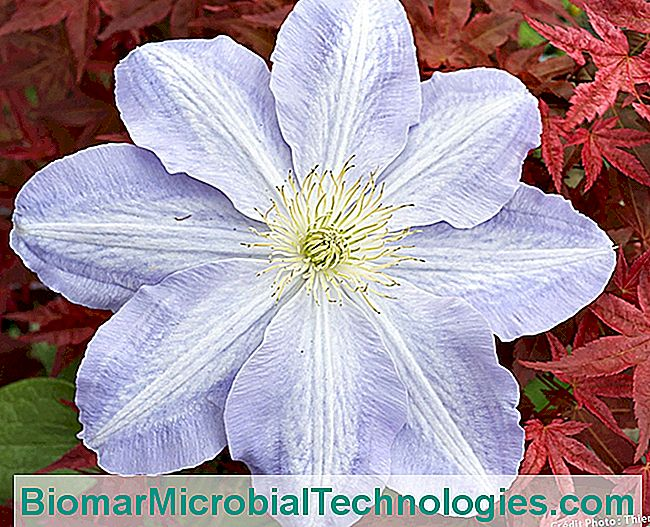 Clematis Success Lavender